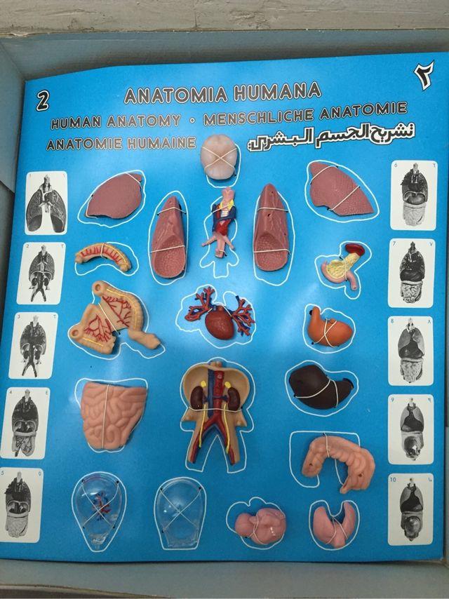 Moderno Anatomía De Una Mujer Embarazada Friso - Imágenes de ...