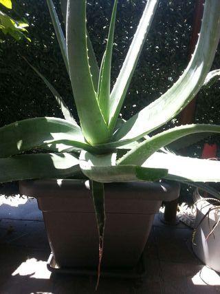 Aloe medicinal