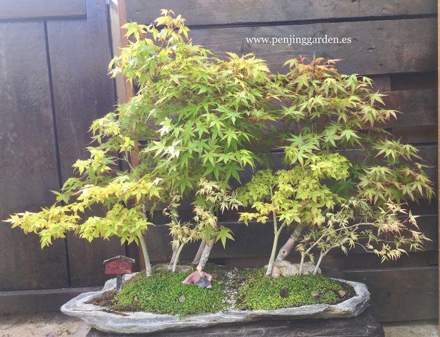 Bonsai Bosque Acer Palmatum De Segunda Mano Por 495 En