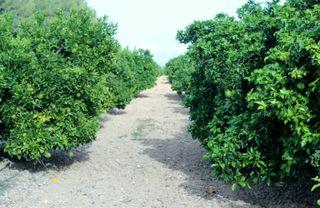 Terreno navelinas en Albaida