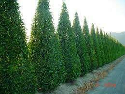 Semillas de carpinus.