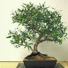 Semillas de eucalipto