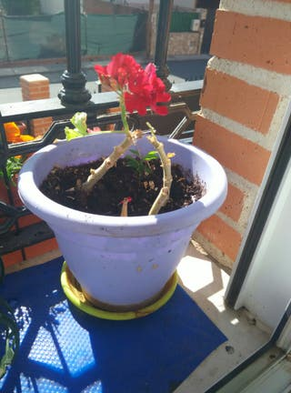 Plantas de Aloe vera