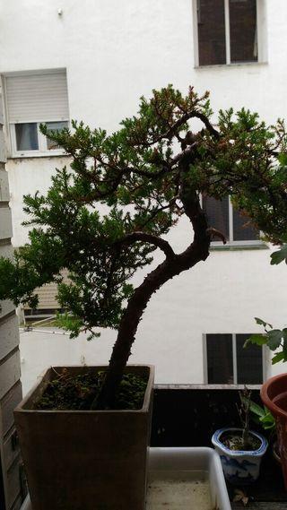 Vendo plantón camino de bonsai