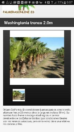 Plantación de 1000 palmeras Washintonias