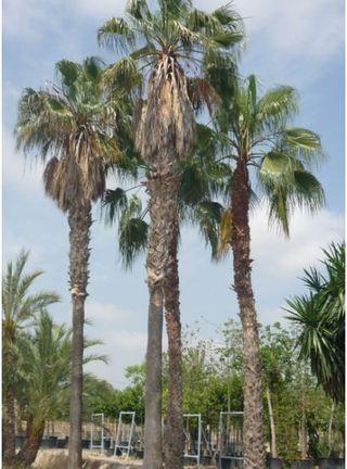 Semillas de palmera