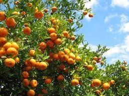 semillas de naranjo