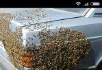 Enjambres de abejas