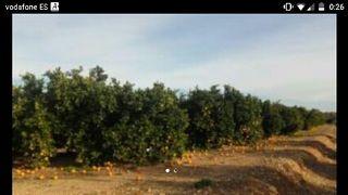 campo de mandarinas