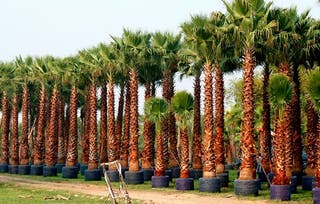 Semillas de palmera Washingtonia