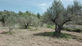 terreno de olivos en Caudiel
