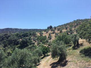 Terreno de olivas
