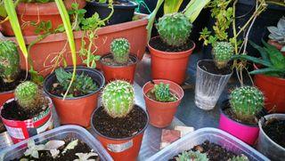Cactus varios