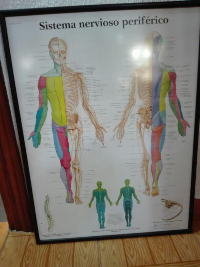 Lamina de dermatomas del cuerpo humano de segunda mano por 30 € en ...