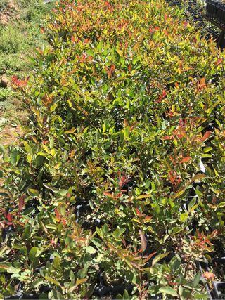 Plantas de Cornicabra (Pistacia terebinthus)
