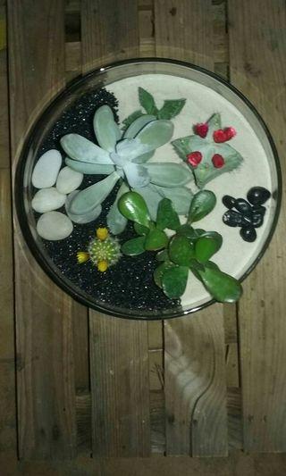 Cactus, Crasas y terrarios