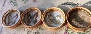 Posavasos de mariposas disecadas