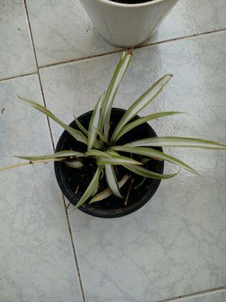 planta de cinta