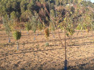terreno 15 klmts de Gandía tiene 60 árboles varied
