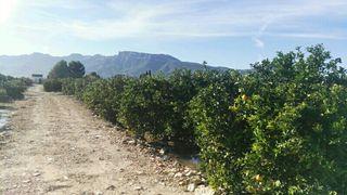 campo de naranjos