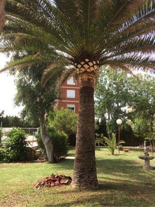 Poda y tala de palmeras
