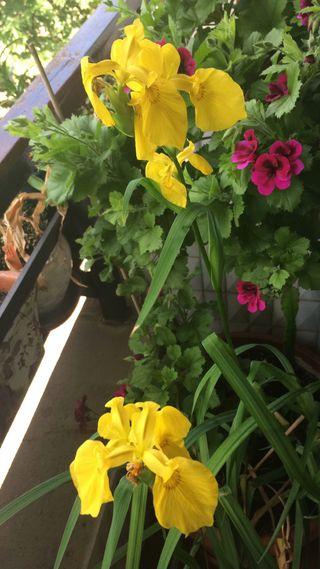 Planta lirio
