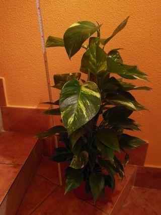 planta poto