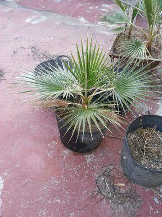 palmera de Canarias