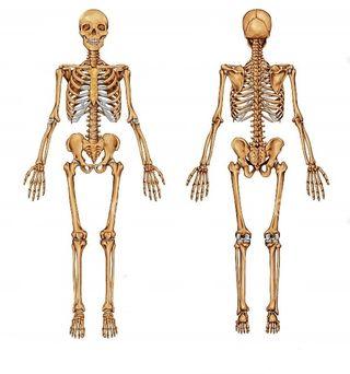 Clases de Anatomia (Primaria,E.S.O,Bachillerato)