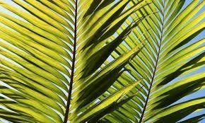 Hojas palmera