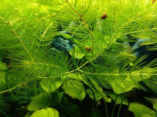 planta de acuario - cola de zorro