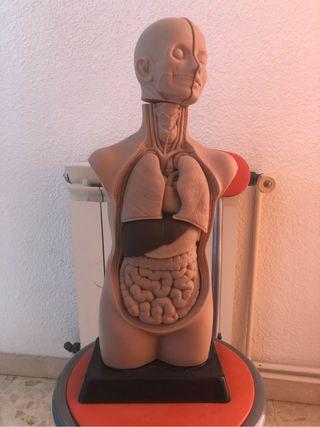 Maniquí anatomia