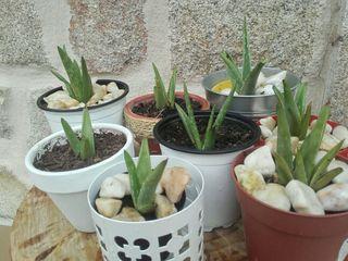 plantas Aloe vera