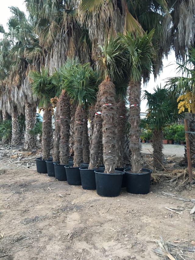 Palmeras trachycarpus fortunei