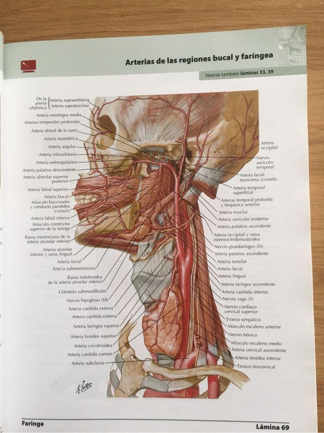 Asombroso Anatomía De La Arteria Temporal Superficial Foto ...