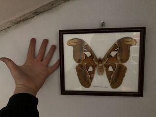 Mariposa attacus atlas