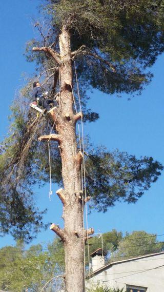 Tala de pino - poda de pino