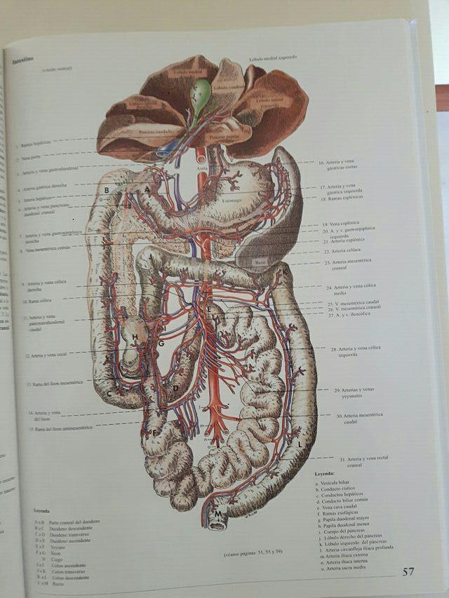 Excepcional Anatomía Femenina Canina Viñeta - Anatomía de Las ...