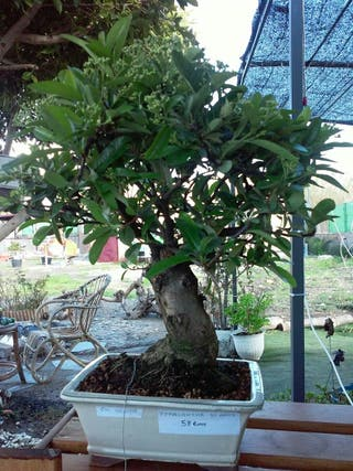 Bonsai Pyracantha (Ahora en fruto)