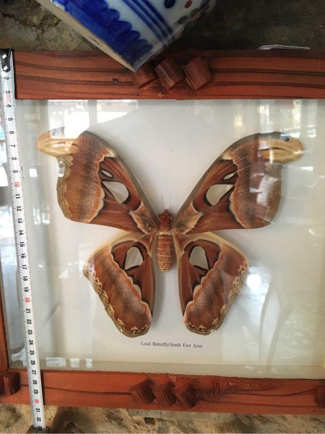 Mariposa gigante enmarcada de segunda mano por 95 € en Luyego - wallapop