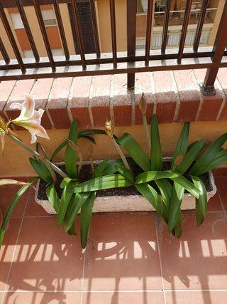 Jardinera de bulbos de amarilis