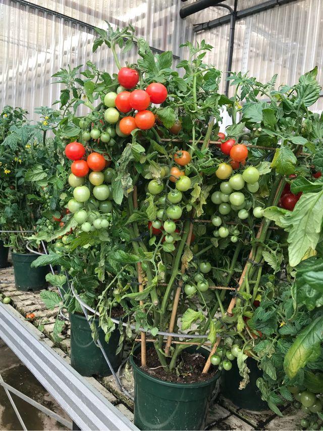 Tomate cherry en maceta de segunda mano por 10 en c rtama en wallapop - Tomates cherry en maceta ...