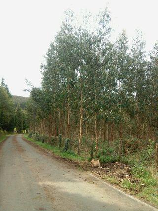 Vendo parcela con plantación eucaliptus