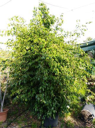 árbol ficus Benjamin