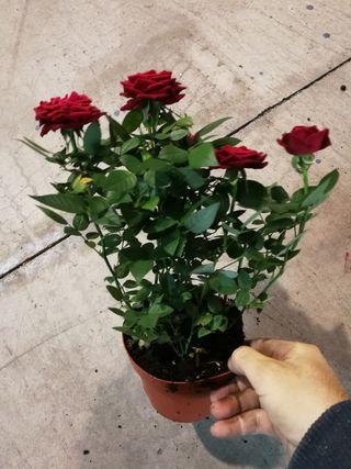 rosas rojas en maceta