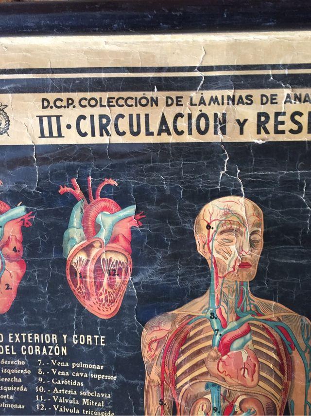 Poster anatomia de segunda mano por 80 € en Sant Adrià de Besòs en ...
