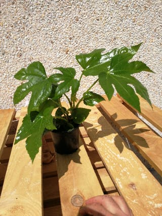 planta fatsia