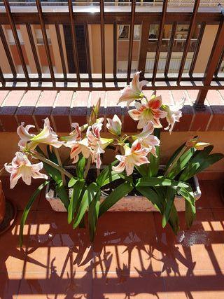 Jardinera Amarilis