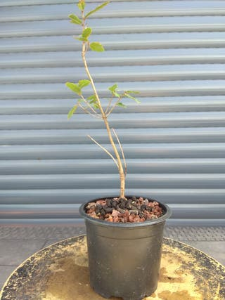 Plantón para bonsái de quejigo