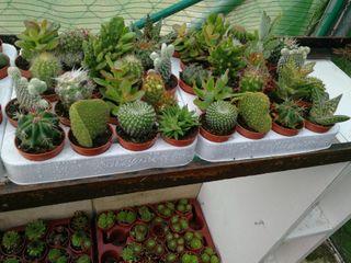 cactus para regalo